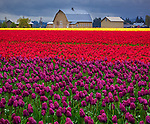Skagit County, WA: Rows of purple and red tulips blooming with barn in the distance.