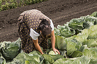 A Hutterite woman picks cabbage in a New Rosedale Hutterites colony field in Manitoba, Monday August 17, 2015. Hutterites are am ethno-religious group who, like the Amish and Mennonites, trace their roots to the Radical Reformation of the 16th century.