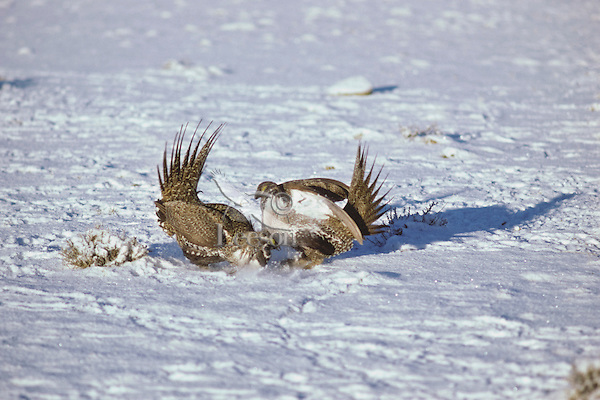 Two male sage grouse fight over territory on a lek during spring mating rituals.  Western U.S.