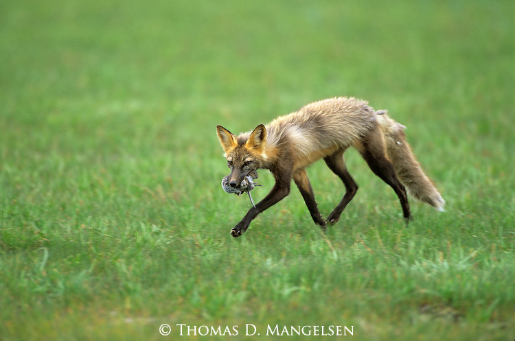 Cross Fox (Vulpes vulpes) carrying carcass. Denali National Park, AK