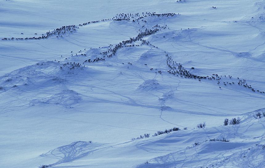 Wild reindeer in winter.