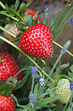 Strawberry 'Sweet Eve' has a longer berry than normal and firmer, almost crunchy, flesh.