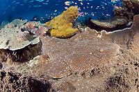 A highly efficient ambush predator, the Tasselled Wobbegong Shark, Eucrossorhinus dasypogon, depends on camouflage and patience to capture unwary fish. Raja Ampat, West Papua / Irian Jaya, Indonesia, Pacific Ocean