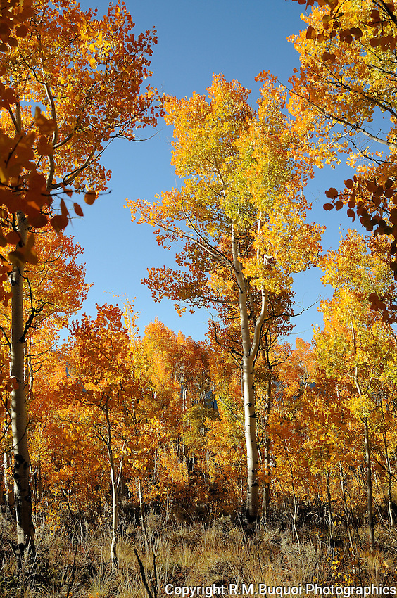 Aspen Trees in Fall Color
