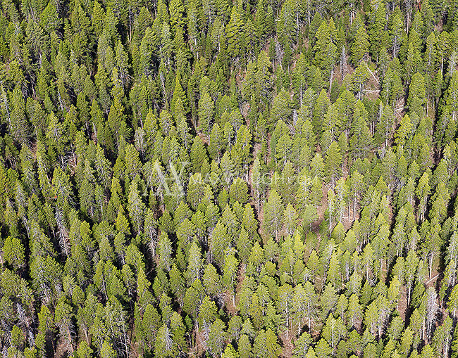 Pine trees in Yellowstone, photographed during an aerial shoot of the park.