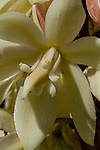 Close-up of the yucca flower blooming in the spring at Big Bend Natinal Park in Texas