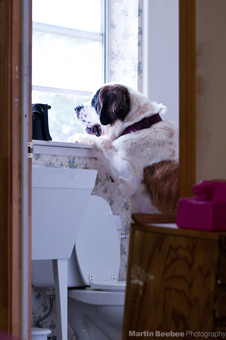 A curious saint bernard stands on her hind legs to look out a bathroom window