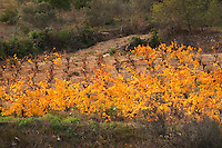 Domaine Piccinini in La Liviniere Minervois. Languedoc. France. Europe. Vineyard.