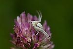 Crab Spider, Misumena vatia, Denge Woods, KENT UK, female sitting in wait for prey on flower, front legs splayed open