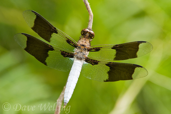 398200003 wild male common whitetail dragonfly plathemis lydia perched on branch southeast regional park austin travis county texas