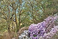 Azalea and Montpellier Maples, Washington