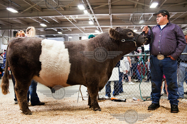 A farmer holds a Belted Galloway pedigree bull before entering the competition ring at the Eastern States Exposition. The fair is held in Springfield, Massachusetts and is the largest in the northeast. It features competitions for various livestock including several classes for cattle.
