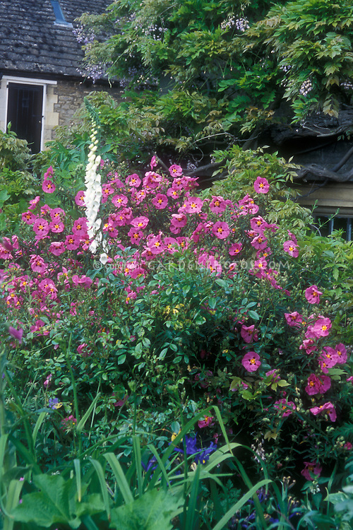 Cistus x purpureus (Orchid Rockrose) shrub in garden border with foxglove (Digitalis), house, wisteria vine