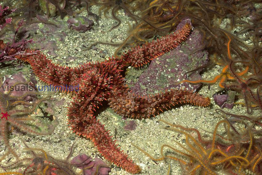 Fragile Rainbow Sea Star (Astrometis sertulifera), Santa Barbara Island, California, USA