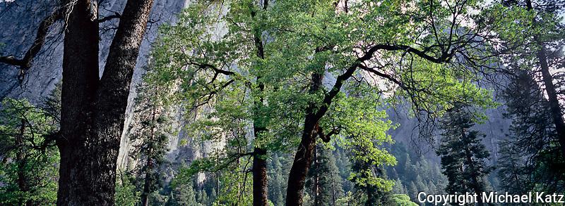 Summer Oaks, El Capitan Meadow, Yosemite