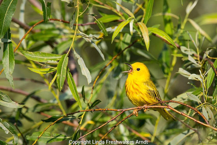 American yellow warbler - male