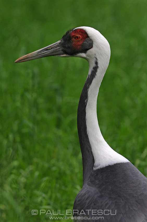 White Naped Crane (Grus vipio)
