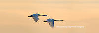 00758-01802 Trumpeter Swans in flight at sunset, Riverlands Migratory Bird Sanctuary, West Alton, MO