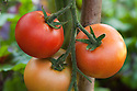 Ripening fruits of grafted tomato 'Elegance', late August.