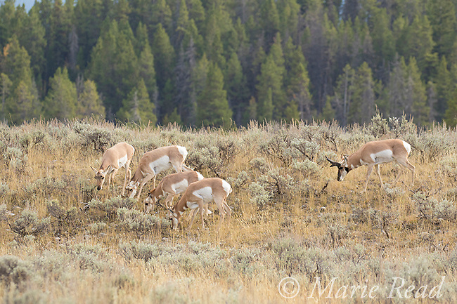 Pronghorn (Antilocapra americana), male and several females/young males, autumn, Grand Teton National Park, Wyoming, USA