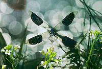 Gebänderte Prachtlibelle, im Flug, fliegend, Pracht-Libelle, Männchen, Calopteryx splendens, Agrion splendens, banded blackwings, banded agrion, male