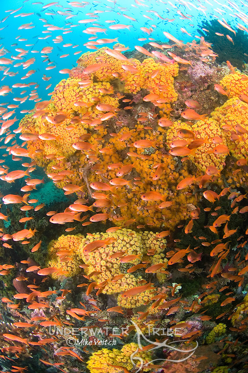 A healthy reef of coral and colour, Pseudanthias sp., crinoids, Oxycomantus sp., hard corals, Tubastrea sp., Anilao, Batangas, Philippines, Pacific Ocean
