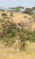 Masai Giraffe, Giraffa camelopardalis tippelskirchii, browsing in Serengeti National Park, Tanzania