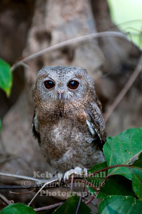 Indian scops owl (Otus bakkamoena) is a resident species of owl found in the southern regions of Asia from eastern Arabia through the Indian Subcontinent, except the far north, east across much of Southeast Asia to Indonesia. This species formerly included what has been split out as the collared scops owl (Otus lettia). Bundala National Park - Sri Lanka.