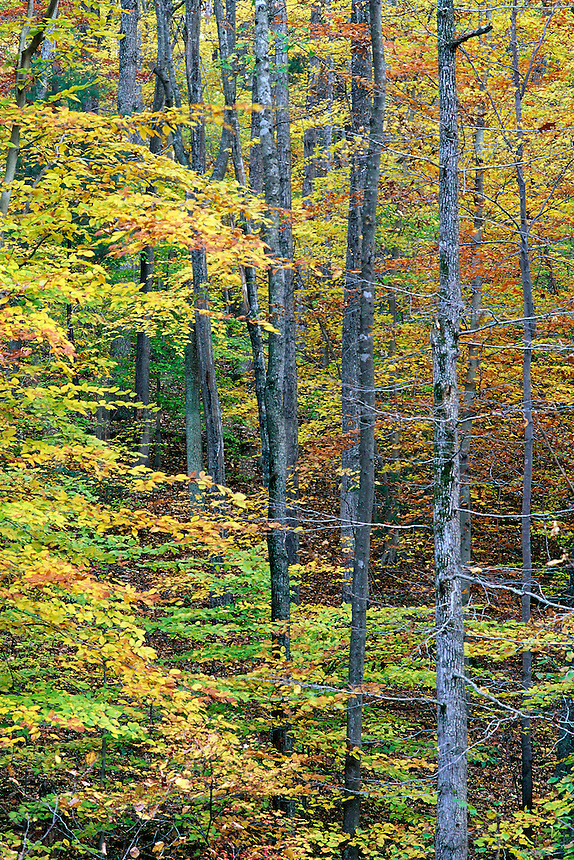 Hardwood forest with beech trees, yellow leaves, tall straight trunks #5470. Virginia.