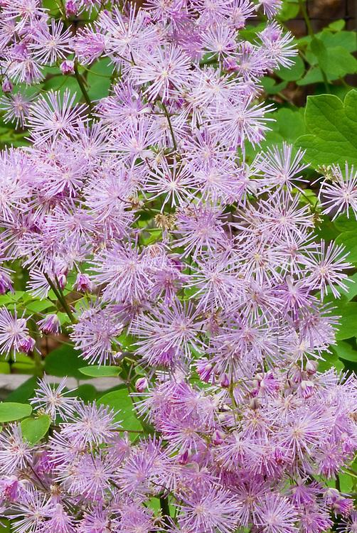 Thalictrum aquilegifolium similar to Thalictrum ACTAEIFOLIUM Perfume Star Big Purple Flowers, starry and fragrant