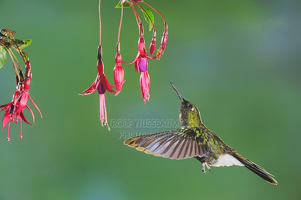 Tourmaline Sunangel (Heliangelus exortis), male feeding from fuchsia flower,Papallacta, Ecuador, Andes, South America
