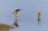 597500003 a wild willet catoptrophorus semipalmatus performs a wing stretch while a long-billed dowitcher limnodromus scolopaceus feeds in shallow water at boca chica state preserve along the southern california coastline
