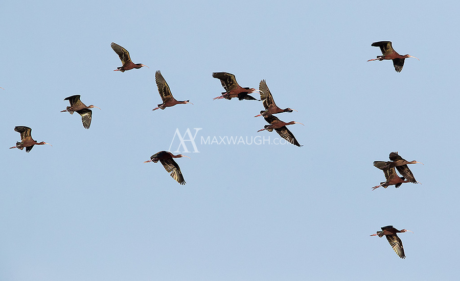 Flocks of White-faced ibises flew circled above many times at Market Lake.