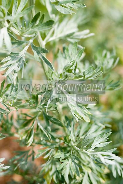 Europe/France/Bretagne/35/Ille et Vilaine/Bonnemain: Absinthe dans le Jardin de Nadia  Romé à la Ferme des  Portes (herbes aromatiques,mesclun, légumes rares, volailles)