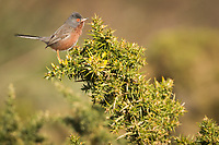 Dartford warbler male (Sylvia undata) perched on gorse bush. Arne, Dorset, UK.