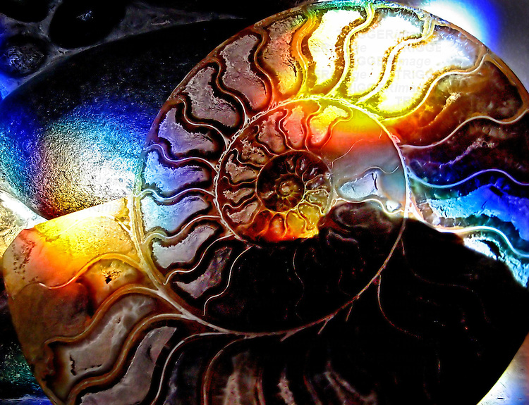 A colourful ammonite