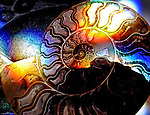 A colourful ammonite