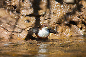 White-throated Dipper (Cinclus cinclus) dipping on rivers edge with caddisfly in the beak waiting its turn to feed young. Dippers have a remarkable way to catch food in a niche area. They are able to dive under water readily at will and walk along the bottom in search of caddis fly larva and other food.