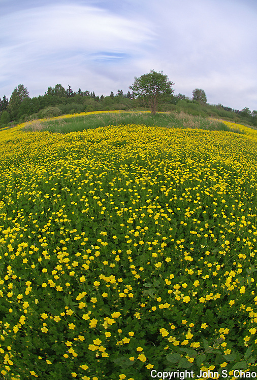 Buttercups flowering in field with tree island and swirling clouds at top of frame in vertical fisheye perspective. Lake Hills Greenbelt, Bellevue, Washington
