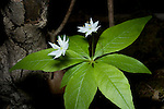 Starflower, Trientalis borealis, bloom, blossom