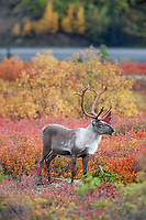 Bull caribou stands on the colorful autumn tundra in Denali National Park.