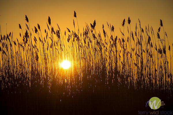 Marsh grass at sunset.