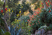 Aloe arborescens winter flowering succulent in San Francisco Botanical Garden