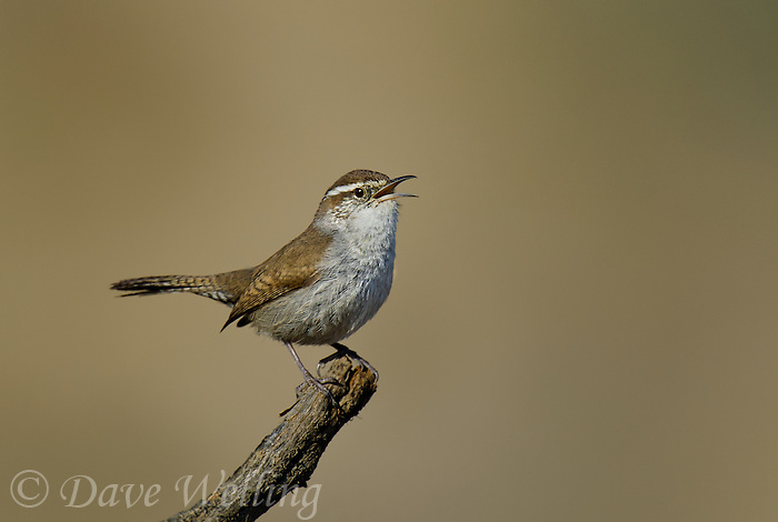 598030028 a wild bewick's wren thryomanes bewickii sings or vocalizes while perched on a twig in kern county california united states