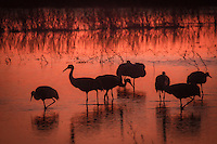 Sandhill cranes at sunset at Bosque del Apache National Wildlife Refuge, in New Mexico.