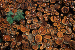 Cut redwood trees in stacked piles, lumbermill near Cloverdale, Sonoma County, California