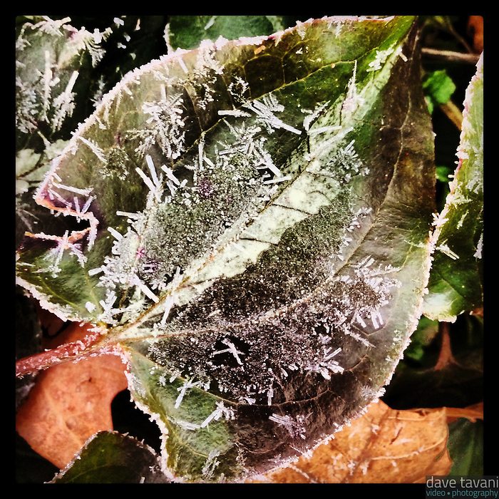 Frost covers a leaf on a cold February 31, 2013 morning.