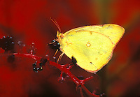 Sulfur Butterfly on pokeweed vine with purple berries, Midwest USA