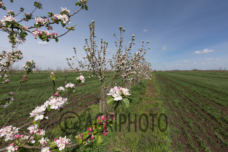 Apple trees planted in arable fields as part of an Agroforestry project <br /> Picture Tim Scrivener 07850 303986<br /> &hellip;.covering agriculture in the UK&hellip;.
