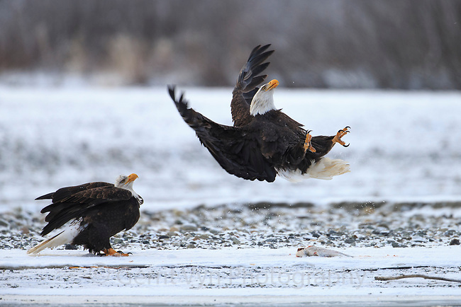 Bald Eagle (Haliaeetus leucocephalus) leaping in defense at another Bald Eagle passing overhead. Southeast, Alaska. December.